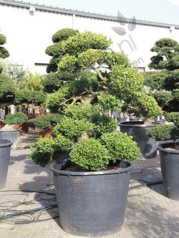 taxus cuspidata japanse bonsai productinformatie. Black Bedroom Furniture Sets. Home Design Ideas